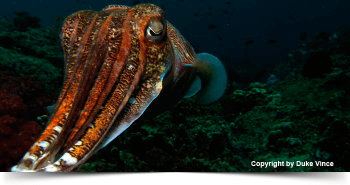 south_east_asia_dreams_gallery_diva-andaman-southern-island-7-days-cruise-cuttlefish_1425281010.3609