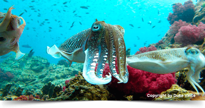 south_east_asia_dreams_gallery_similan-surin-island-7-days-safari-octopus_1425268694.5723